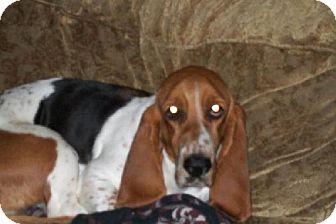 Basset Hound Dog for adoption in Grapevine, Texas - Darla