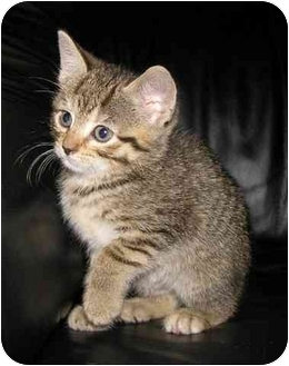 Domestic Shorthair Kitten for adoption in Bristol, Rhode Island - Cici