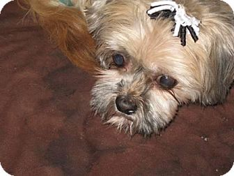 Shih Tzu Dog for adoption in Tallahassee, Florida - Heather - ADOPTED