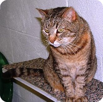 Domestic Shorthair Cat for adoption in Wetumpka, Alabama - #80623 'Cherokee'