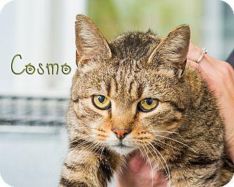 Domestic Shorthair Kitten for adoption in Somerset, Pennsylvania - Cosmo