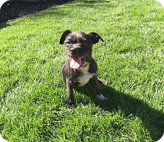 Terrier (Unknown Type, Small) Mix Dog for adoption in Concord, California - Jayme