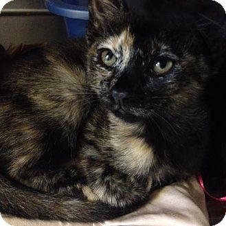 Domestic Shorthair Kitten for adoption in Westminster, California - Acorn