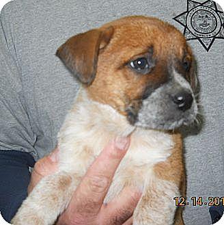 Australian Cattle Dog Mix Puppy for adoption in Manhattan, New York - Allie