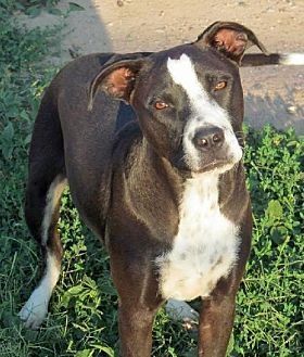 American Pit Bull Terrier/American Staffordshire Terrier Mix Dog for adoption in Peralta, New Mexico - **JACQUES- Shy at first but so perfect!