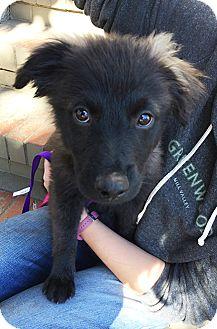 Border Collie/Australian Shepherd Mix Puppy for adoption in San Francisco, California - Titus