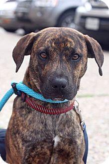 Plott Hound Mix Dog for adoption in Dallas, Texas - Milton