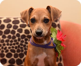 Terrier (Unknown Type, Medium) Mix Puppy for adoption in Baton Rouge, Louisiana - Wendy