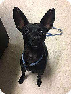 Chihuahua/Basenji Mix Dog for adoption in Muskegon, Michigan - Marco
