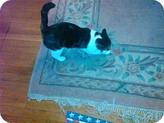 Domestic Shorthair Cat for adoption in Columbia, Maryland - Peanut_Courtesy Post