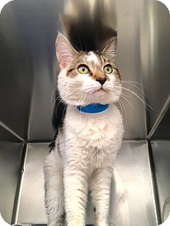 Domestic Shorthair Cat for adoption in Las Vegas, Nevada - Jester
