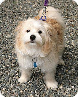 Pomeranian/Poodle (Miniature) Mix Dog for adoption in Bellingham, Washington - Ludo
