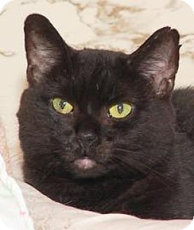 American Shorthair Cat for adoption in Westville, Indiana - Shadow