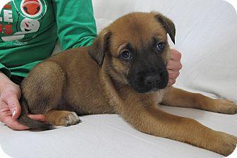 German Shepherd Dog/Boxer Mix Puppy for adoption in Smithfield, North Carolina - Hercules