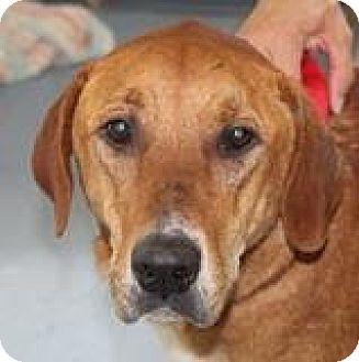 Labrador Retriever Mix Dog for adoption in Pottstown, Pennsylvania - Portia
