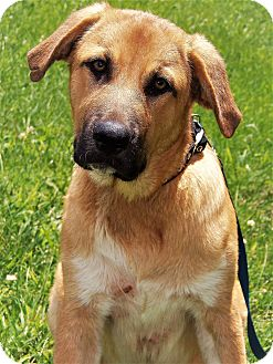 Great Pyrenees/German Shepherd Dog Mix Puppy for adoption in Sparta, Kentucky - Mickey