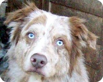 Australian Shepherd/Australian Shepherd Mix Dog for adoption in Guthrie, Oklahoma - Echo