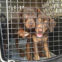 Adopt A Pet :: Doberman Puppies - Ringoes, NJ