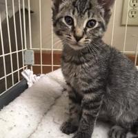 Adopt A Pet :: Alfalfa - Cashiers, NC