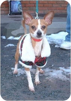 Chihuahua Mix Dog for adoption in Honesdale, Pennsylvania - Gizmo