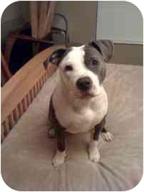 American Staffordshire Terrier Mix Puppy for adoption in Lafayette, Indiana - Rocky