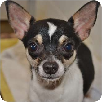 Chihuahua Mix Puppy for adoption in Portsmouth, Rhode Island - Atom- meet me!