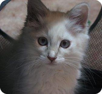 Ragdoll Kitten for adoption in Davis, California - Talitha