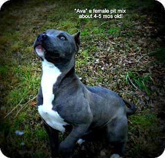 Pit Bull Terrier Mix Puppy for adoption in Gadsden, Alabama - Ava