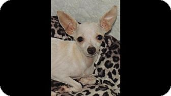 Chihuahua Mix Dog for adoption in La Habra Heights, California - Tiny 3lb Tinkerbell