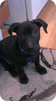 Labrador Retriever Mix Puppy for adoption in Schaumburg, Illinois - Briggs