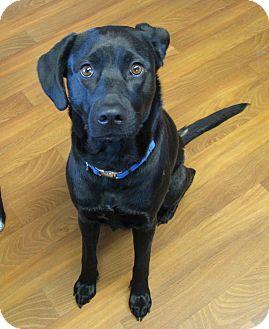 Labrador Retriever Mix Dog for adoption in Lisbon, Ohio - Bailey Rose ADOPTED!!