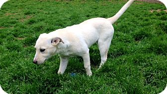 Labrador Retriever/Siberian Husky Mix Puppy for adoption in Charlotte, North Carolina - Anna