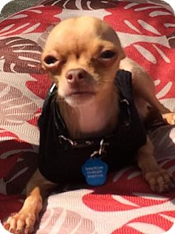 Chihuahua Dog for adoption in Encino, California - Nugget 3.5 lbs.