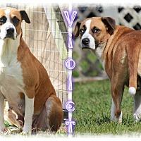 Adopt A Pet :: Violet - Tampa, FL
