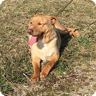 Golden Retriever/Basset Hound Mix Dog for adoption in Hatifeld, Pennsylvania - Ajax