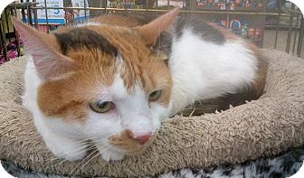 Domestic Shorthair Cat for adoption in Richmond, Virginia - Angel