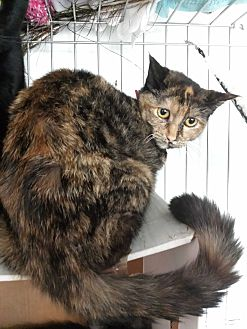 Calico Cat for adoption in Los Angeles, California - Paisley