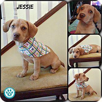 Labrador Retriever Mix Puppy for adoption in Kimberton, Pennsylvania - Jessie