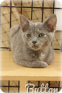 Domestic Shorthair Kitten for adoption in Alexis, North Carolina - Buttons