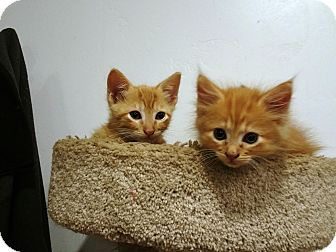 Domestic Mediumhair Kitten for adoption in Grand Junction, Colorado - Harry and David