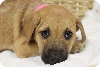 Labrador Retriever Mix Puppy for adoption in Waldorf, Maryland - Pilar
