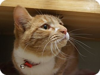 Domestic Shorthair Cat for adoption in Libby, Montana - BB King