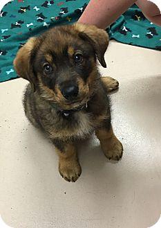 Collie Mix Puppy for adoption in Battle Creek, Michigan - Dallas