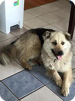 German Shepherd Dog Mix Dog for adoption in Edmonton, Alberta - Otis (FOSTER HOME NEEDED)