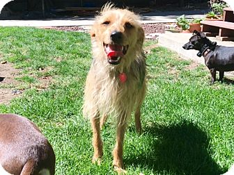 Terrier (Unknown Type, Small)/Yorkie, Yorkshire Terrier Mix Dog for adoption in Temecula, California - Smokey- great all around dog!