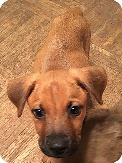 Labrador Retriever Mix Puppy for adoption in Lyndhurst, New Jersey - Hemi