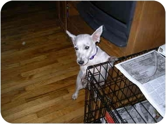 Westie, West Highland White Terrier Dog for adoption in Center Moriches, New York - Westie