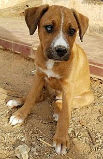 Boxer/German Shepherd Dog Mix Dog for adoption in Surprise, Arizona - Dancing Bear and Pooh bear PAIR