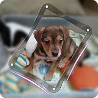 Adopt A Pet :: Brownie (in adoption process) - El Cajon, CA