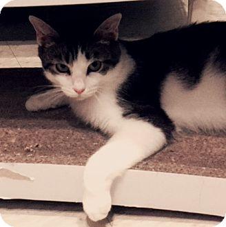 Domestic Shorthair Cat for adoption in LaGrange, Kentucky - Paws